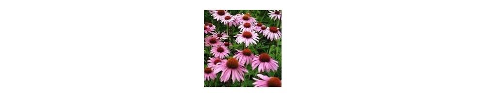 ▷ Echinaceas ~ y ~ Propoleos ✅ Defensas